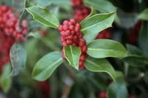 443 mistletoe