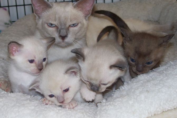 Tonkinese kitties!