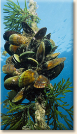 green_lipped_mussels_sms